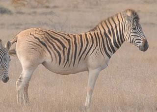Parece zebra, mas não era