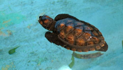 Protegendo as tartarugas no Caribe