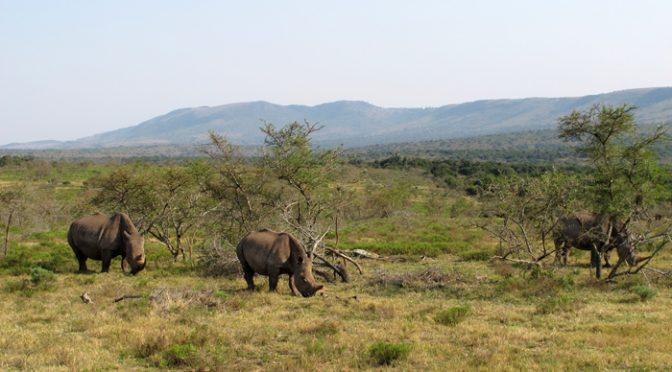 Chifre de rinoceronte é afrodisíaco?