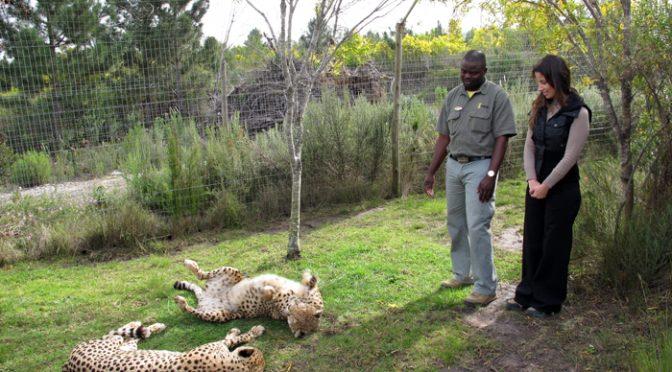 Meu primeiro encontro com os guepardos