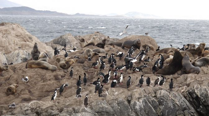 Lobos-marinhos acasalando